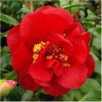 Camellia 'Candy Apple' (japonica)