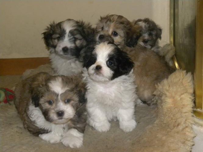 Shitzu Poodle Mix Shitzu Poodle Super Cute Puppies Shih Poo
