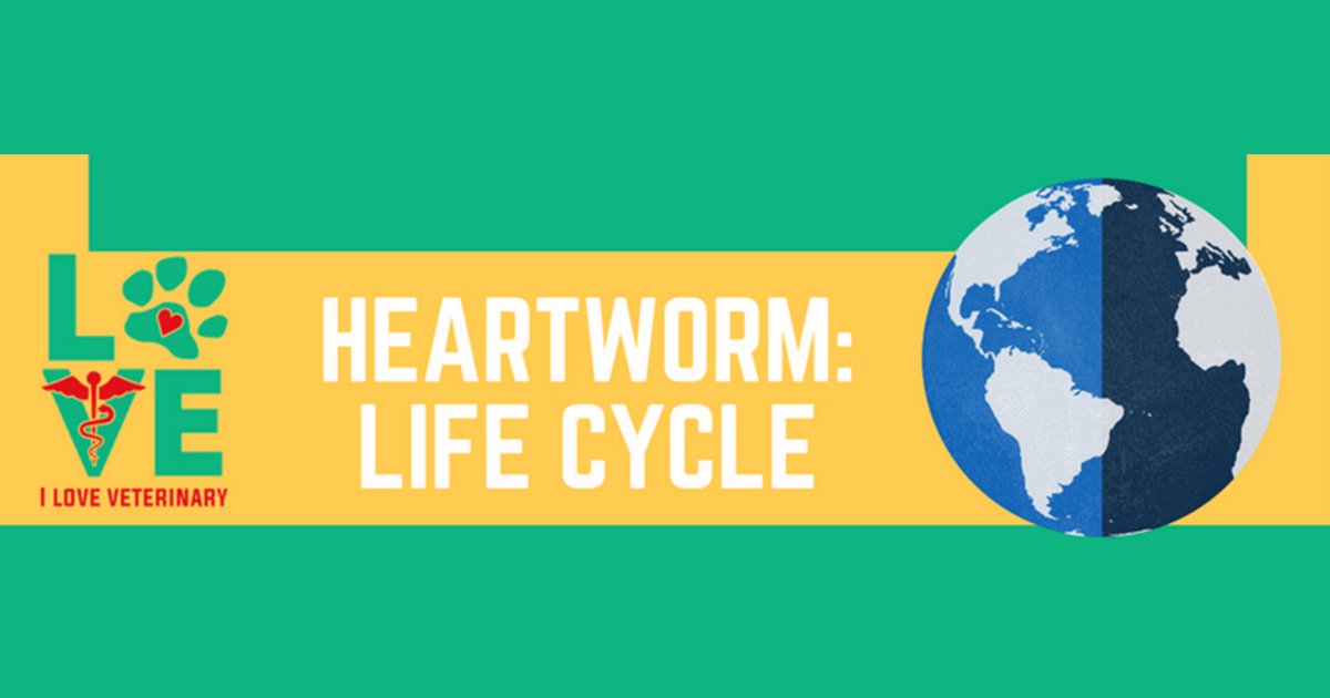 Heartworm Life Cycle I Love Veterinary Heartworm