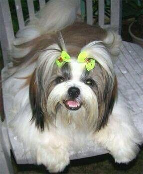 Puppy Ponytail Shih Tzus Best Hypoallergenic Dogs Shih Tzu
