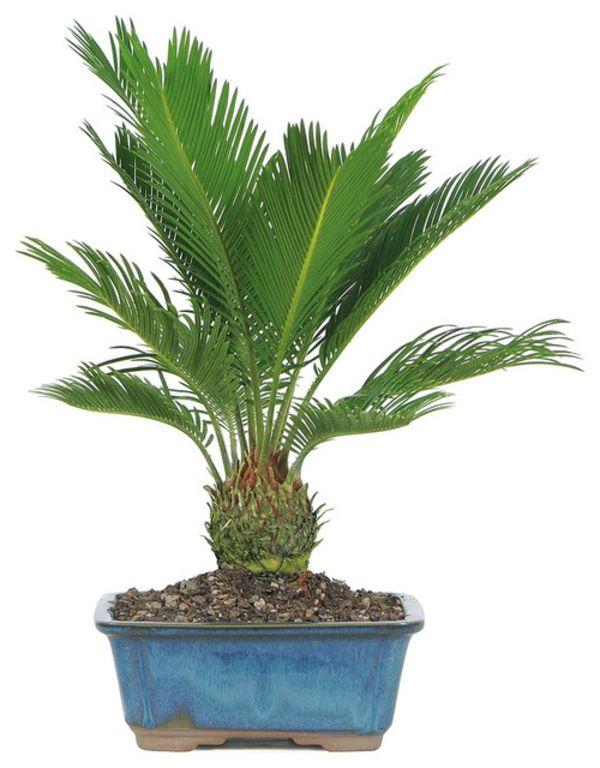 Palmenarten Als Zimmerpflanzen Winterharte Exotische Losungen Pflanzen Palmenarten Zimmerpflanze Palme