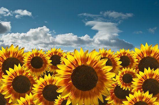 Wallpaper Tumblr Laptop Sunflower