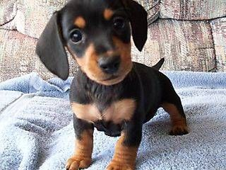 Micro Mini Dachshund Puppy Omg She Is The Cutest Thing I Would