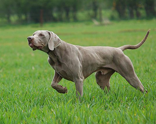 Weimaraner | The Hunting Weimaraner Forum • View topic - Let's talk Longhairs
