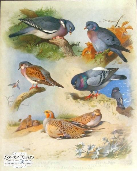 British Birds. Plate #53: Wood Pigeon, Stock-Dove, Turtle Dove, Pallas's Sand Grouse (M & F).   by Thorburn, Archibald, F.Z.S.  Publisher Information:  Longmans, Green and Co., London: 1918.