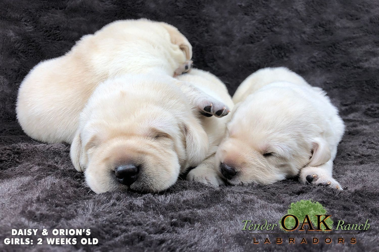 At Tender Oak Labradors Both Male And Female Labrador Puppies Are Available And Ready For Their New Home Don Puppies Labrador Puppy Labrador Puppies For Sale