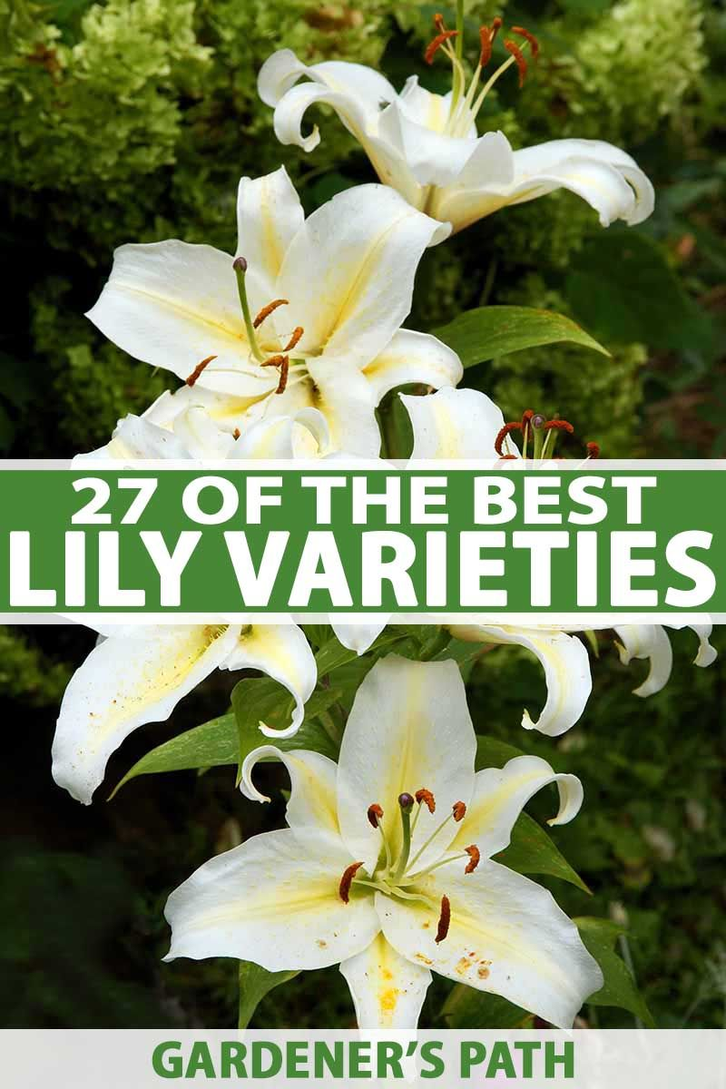 27 Of The Best Lily Varieties Gardener S Path In 2020 Lily Plants Lily Plant Types Types Of Lilies