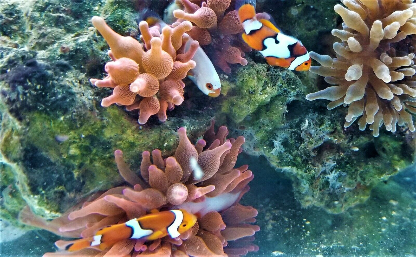 Picasso Platinum Percula Clown Harem Of 6 50 00 One Day Shipping In 2020 Clown Fish Tropical Fish Fish Pet