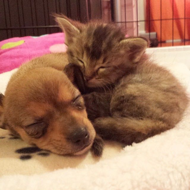 Chip The Chihuahua Puppy And Adele The Kitten Become Best Friends