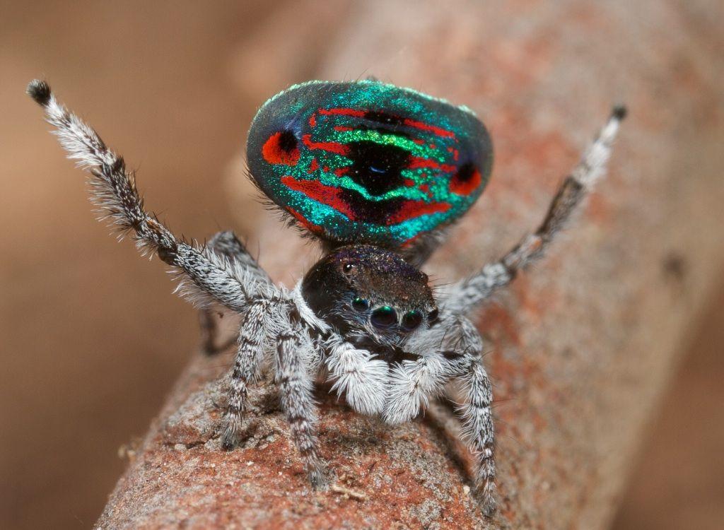 les araign es paon sauteuses araign e paon les araign es et araign es. Black Bedroom Furniture Sets. Home Design Ideas