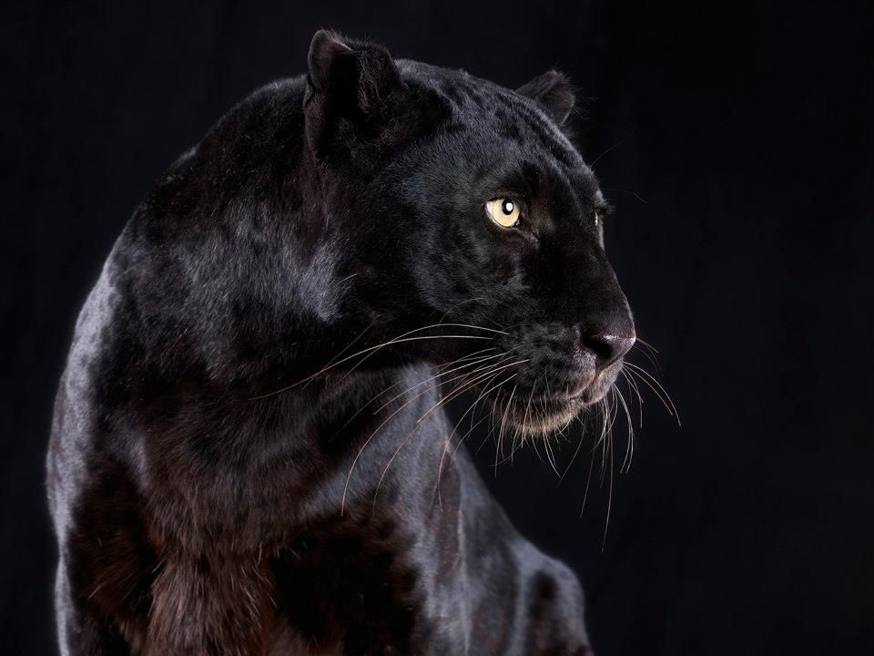 Black Panther Close Up C Lennette Newell Black Panther Panther Animals