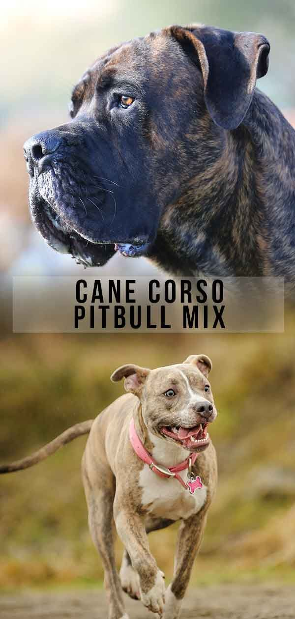 Cane Corso Pitbull Mix What Do You Need To Know About This