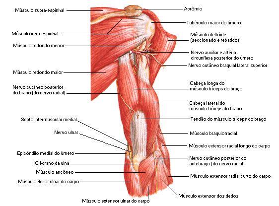 Aula de Anatomia | Braço | Anatomia | Pinterest | Anatomía ...