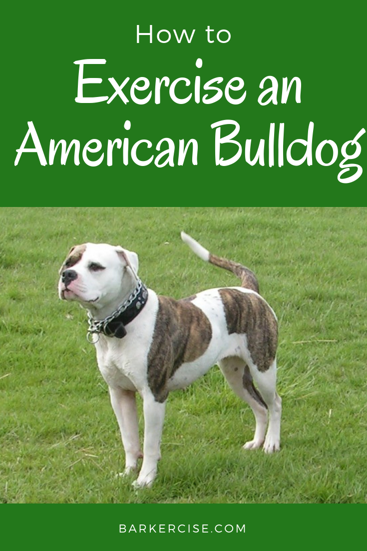 How To Exercise An American Bulldog American Bulldog Puppies