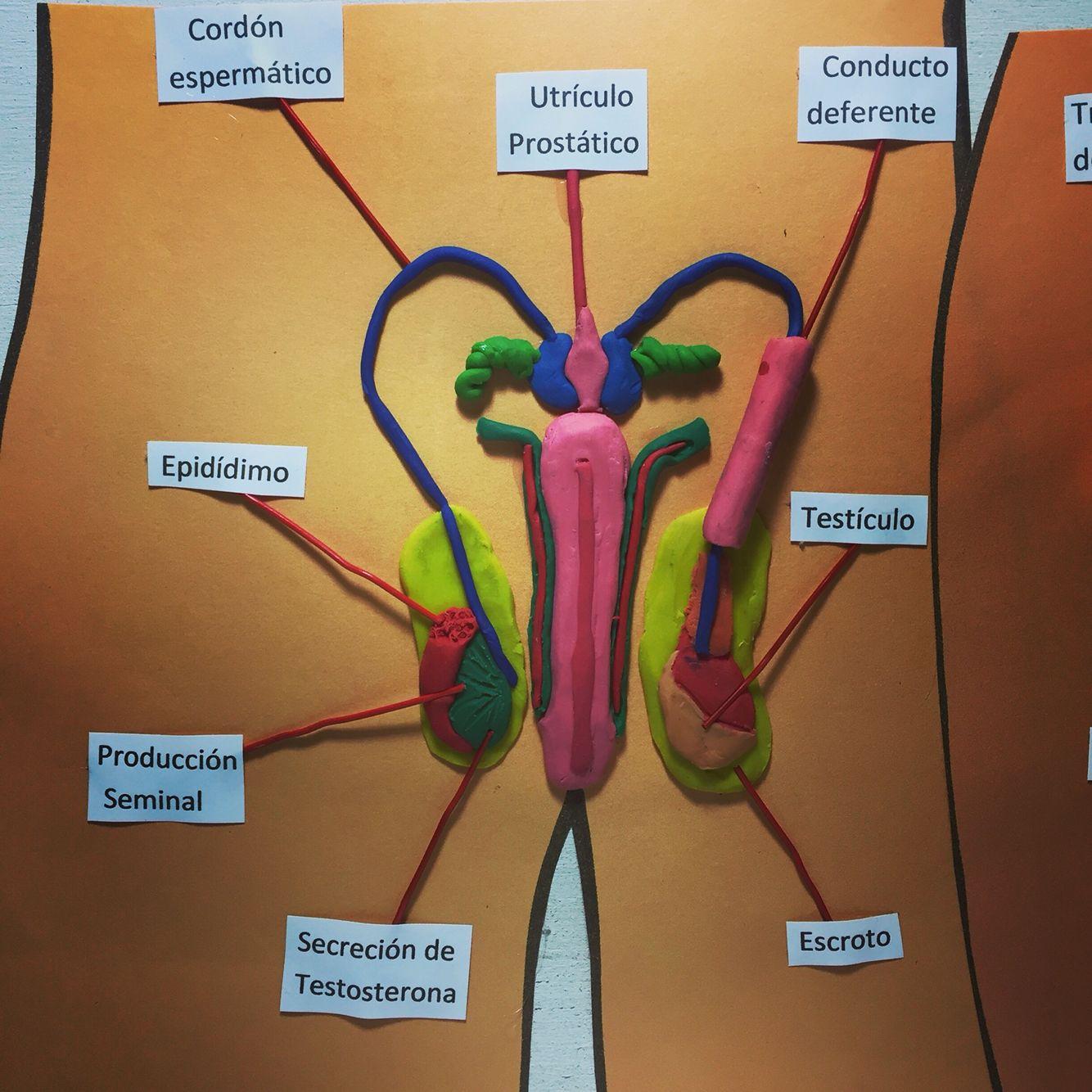Maqueta - Sistema Reproductor Masculino. (Hecho en Plastelina) by ...