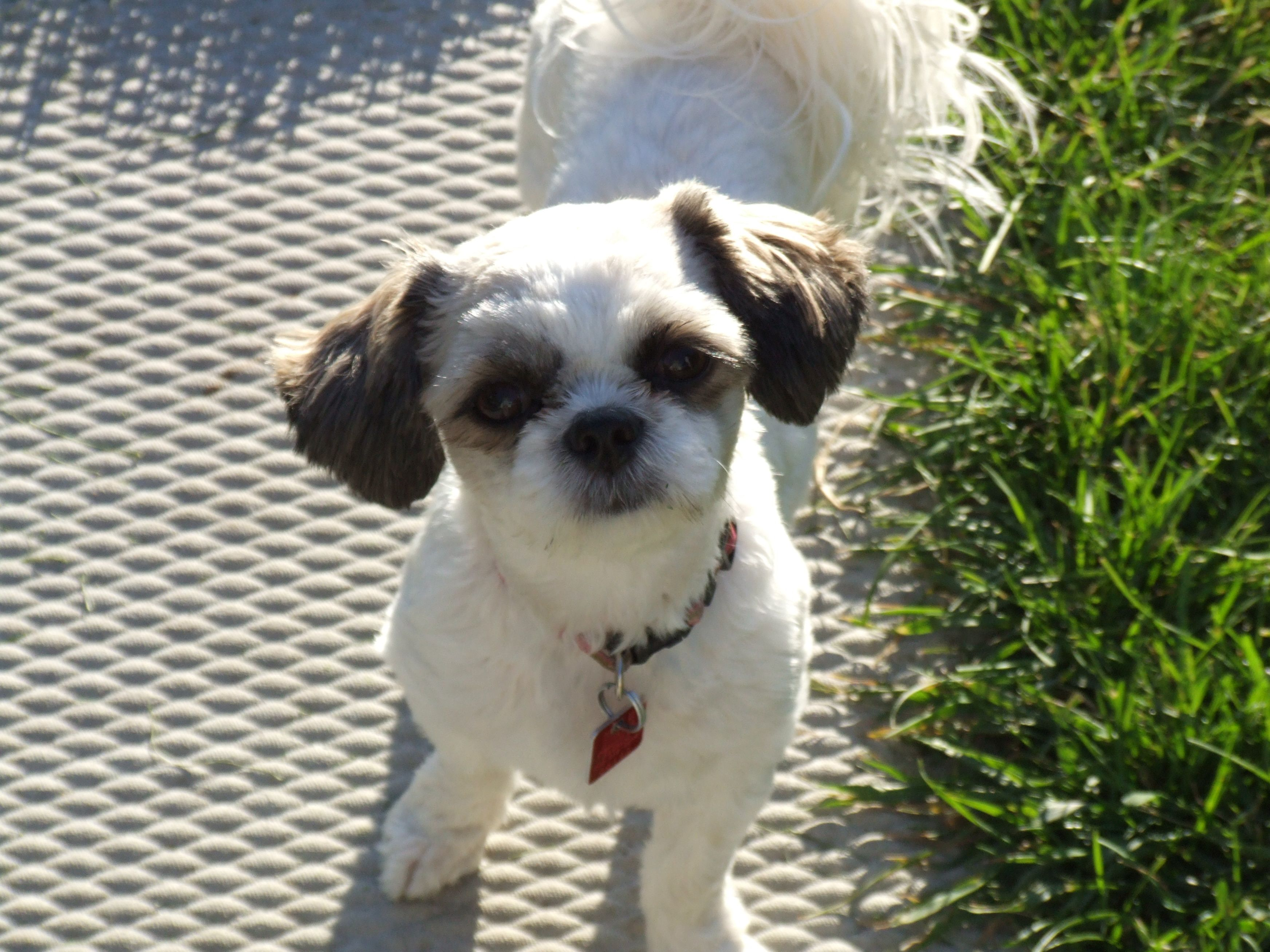 Isabel Shih Tzu Bichon Summer Haircut Labrador