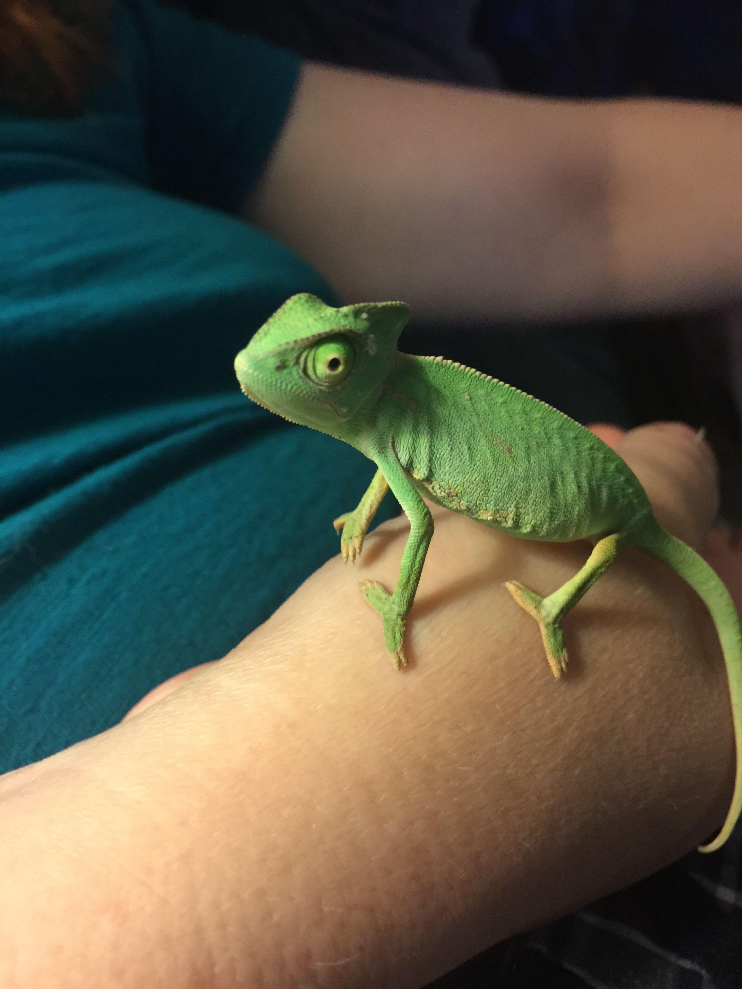 Veiled chameleon 1 month old Esther Chameleon pet