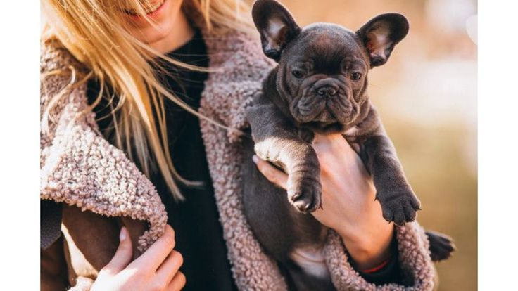 French Bulldog Puppy For Sale Facts About French Bulldogs That Make Th Bulldog Bulldogs Facts French