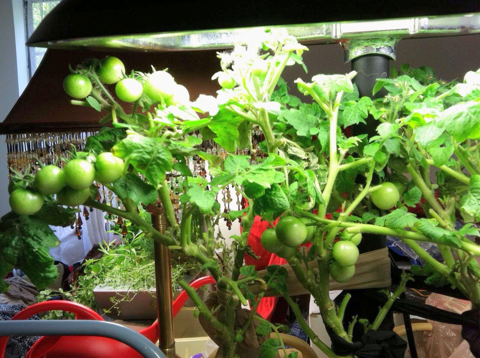 My Heirloom Cherry Tomatoes In The Aerogarden Hydroponic 400 x 300