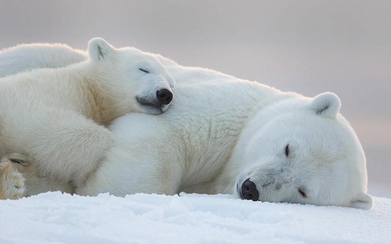 Samye Trogatelnye Mamy Medvedicy I Ih Medvezhata Obsuzhdenie Na Liveinternet Rossijskij Servis Onlajn Dnevniko Baby Polar Bears Polar Bear Polar Bear Images