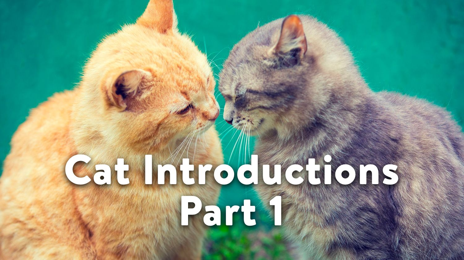 Cat Introductions Part 1 Before The Introduction Jackson Galaxy Cat Communication Cats Sick Pets