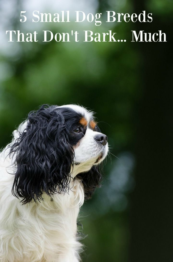 Small Dog Breeds That Don T Bark Much Dog Names Losing A Dog Dog Boredom