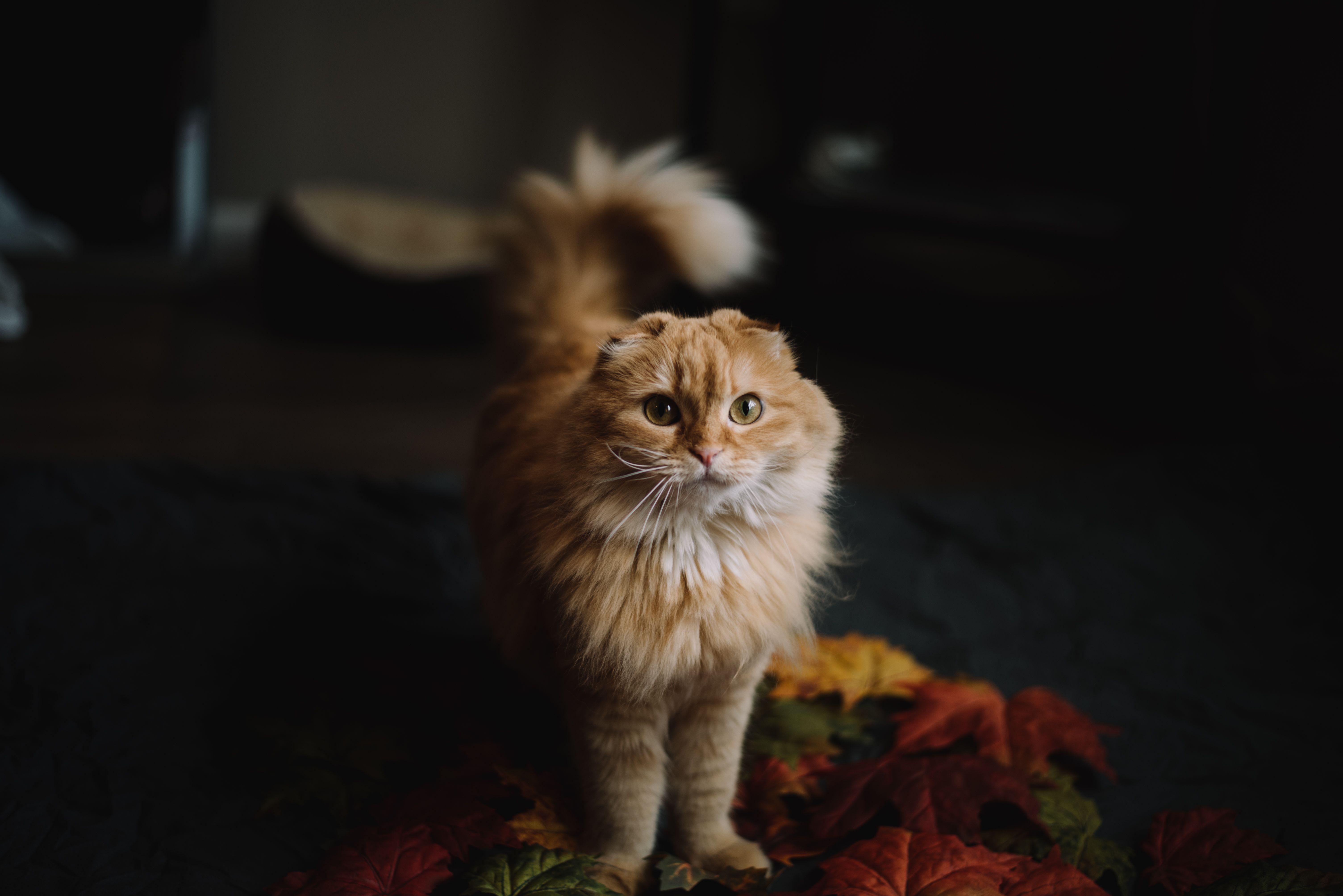 Dallas Pet Portrait Session Scottish Fold Kittens Cat Scottish