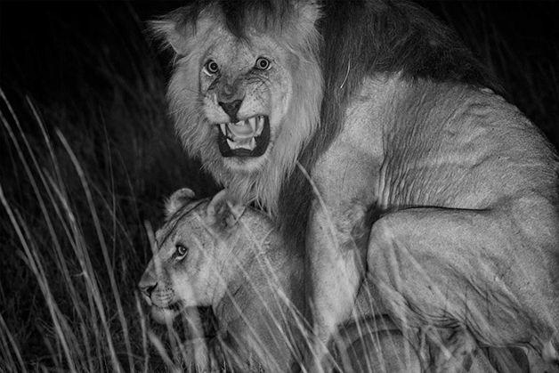 Lion busting a nut.