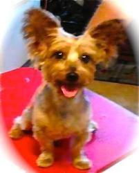 Adopt Kola On Yorkie Dogs Yorkshire Terrier A Dogs Purpose