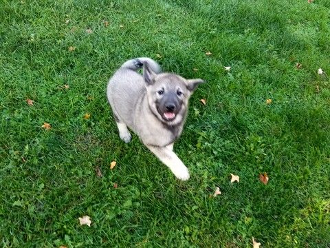 Norwegian Elkhound Puppy For Sale In Marion In Adn 18824 On