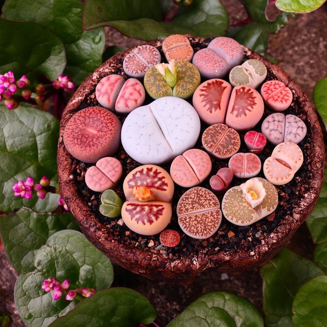 いいね!506件、コメント1件 ― nicoriさん(@nicori.25)のInstagramアカウント: 「#リトープス やっぱりボルキー可愛すぎます☆ : : #多肉 #多肉植物 #メセン #リトープス丼 #succulent #succulents #mesen #bo… | リトープス, 庭のプロジェクト, 多肉植物