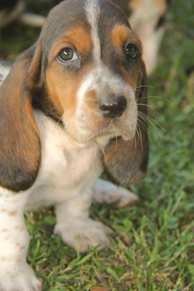 Basset Hound Puppies Adoption Puppies Puppies Basset Hound