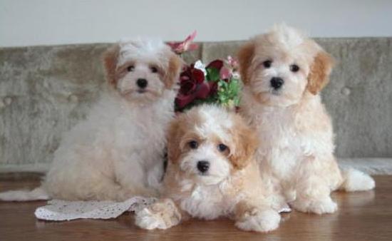 Puppies For Sale Boca Raton Maltipoo Maltipoo Puppies For Sale Maltipoo Puppy Poodle Mix Breeds