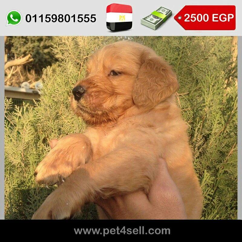 Egypt Cairo Female Golden Retriever 36 Days For Sale Dark Color