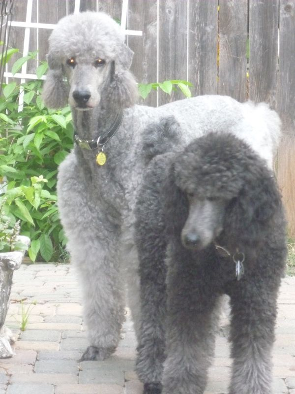 Blue Dyed Standard Poodle Blue, Silver and White...
