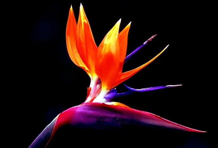 May Flowers Bird Of Paradise Birds Of Paradise Flower Birds Of Paradise Paradise Flowers