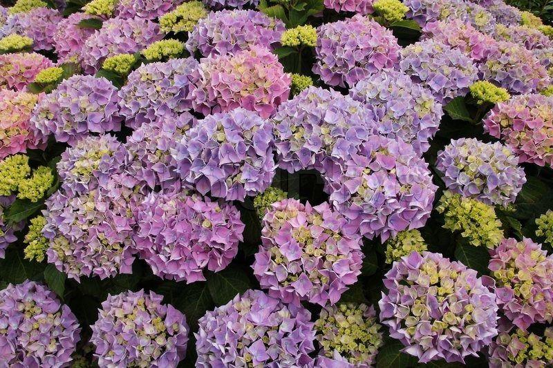 stock bild von 'sommer, wunderschöne blühende hortensie mit vielen,