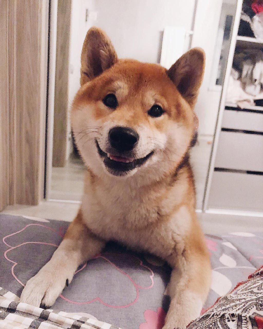 Pin By Tanja Marusic On Dogs In 2020 Smiling Dogs Shiba Inu Dogs