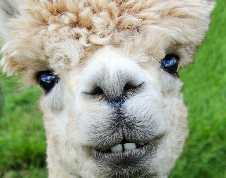Free Image On Pixabay Alpaca Smile Teeth Fur Funny Smile - 22 hilarious alpaca hairstyles