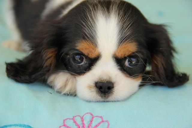 Cavalier King Charles Spaniel With Images Cavalier King Charles Spaniel King Charles Puppy Cavalier Dog