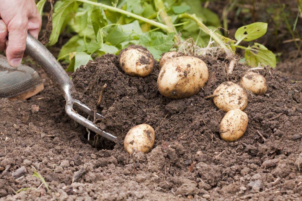 Kartoffeln Erntezeit