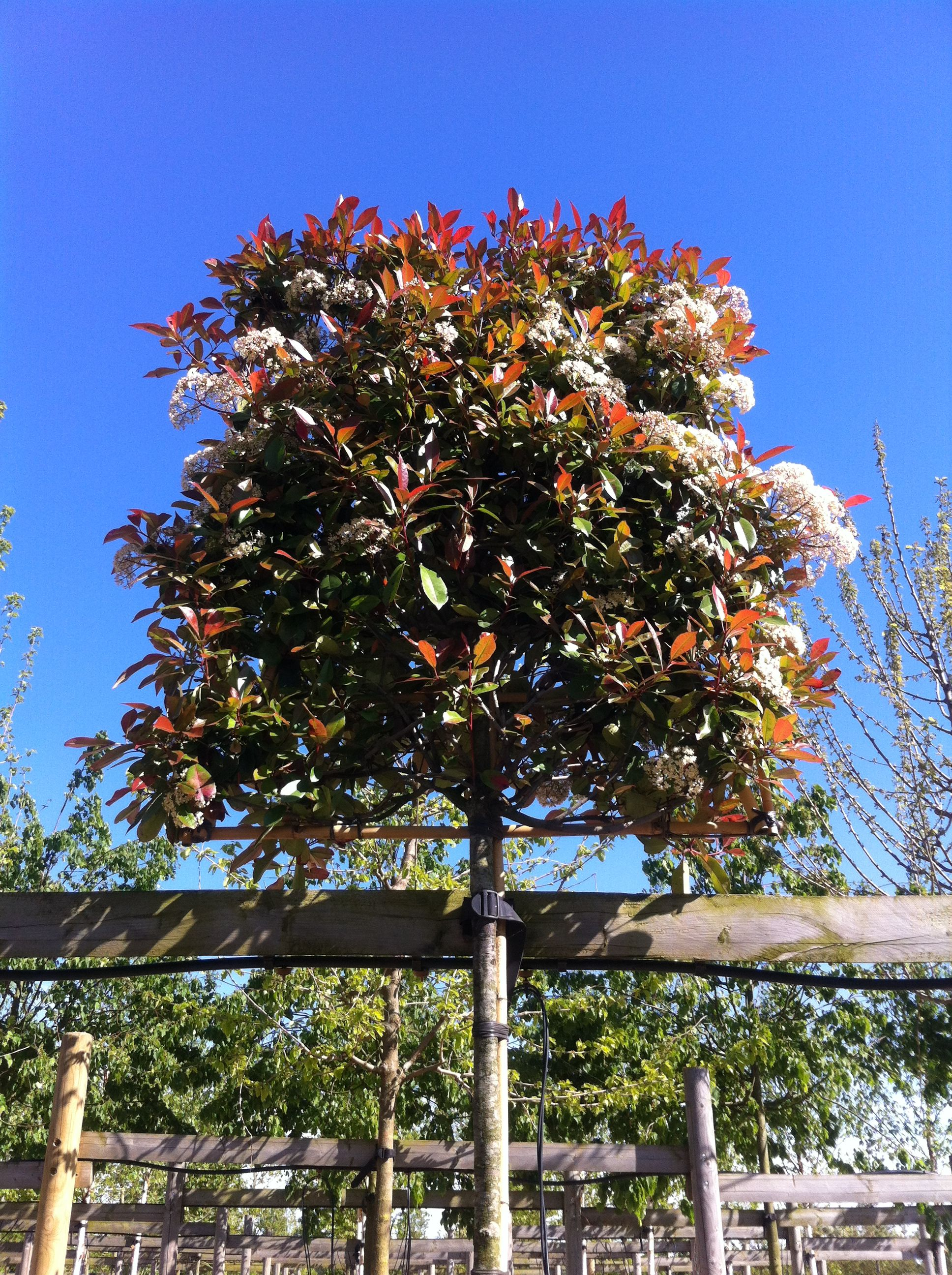 pleached christmas berry pleached photinia pleached red robin