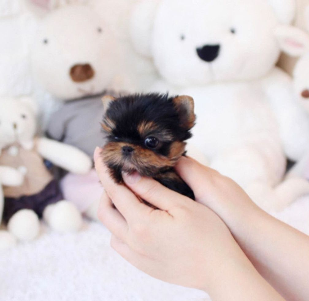 Yazzy Micro Yorkie Microteacups Posh Pocket Pups Teacup Puppies Yorkie Puppy Store