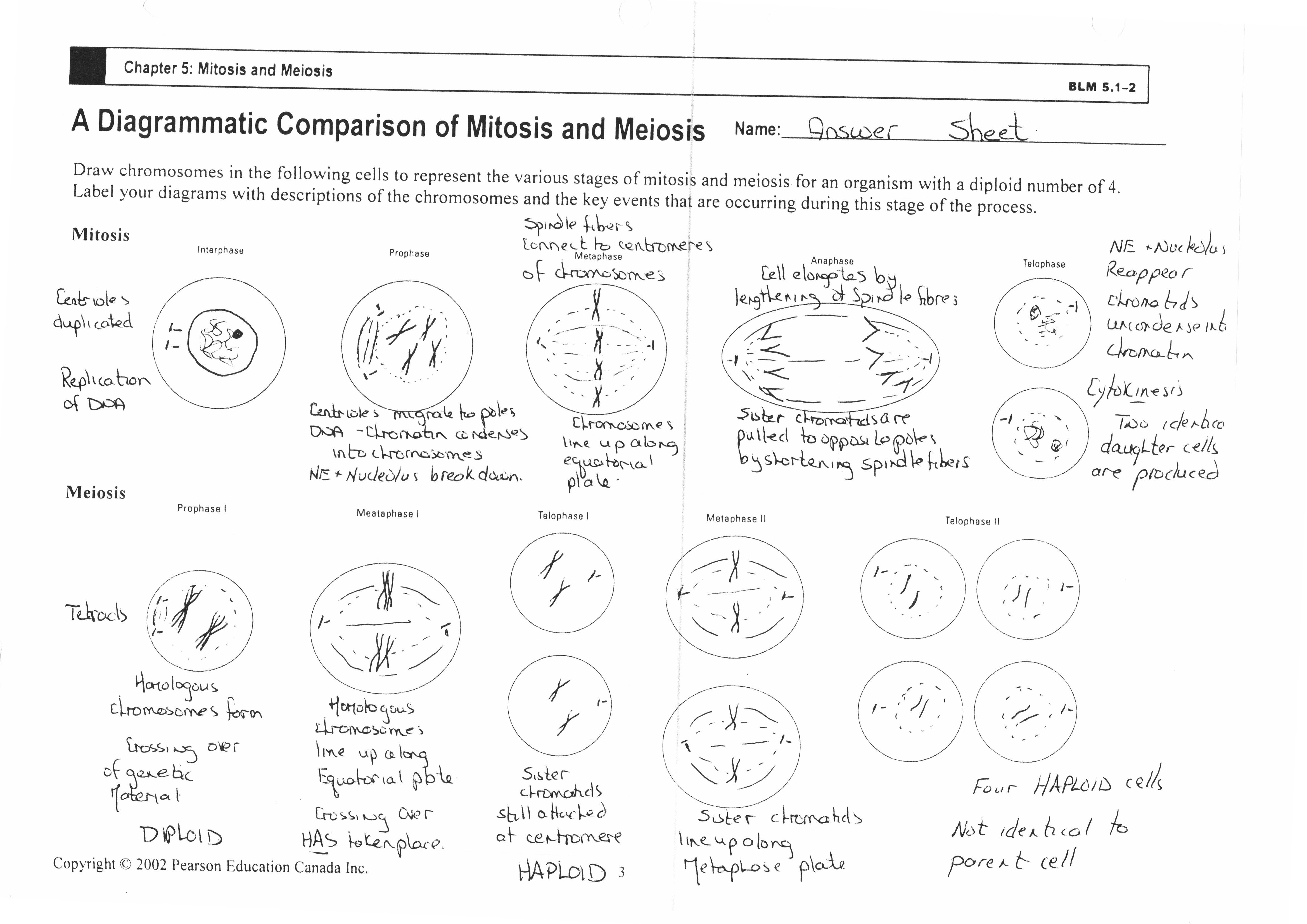 Meiosis And Mitosis Worksheet Answers