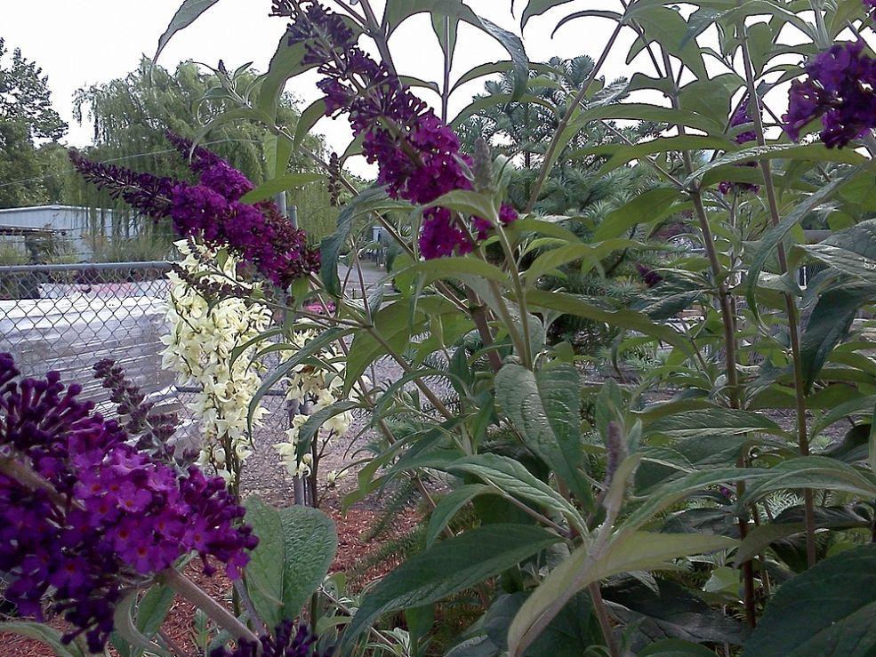 (9) Hometalk :: Weed, Wildflower or Invasive Thug?