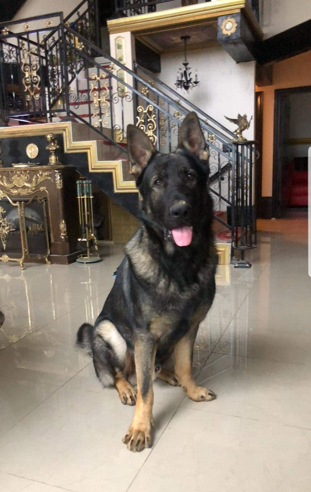 King Zoltan Is Out Of Ayers Legends German Shepherds King Kino And