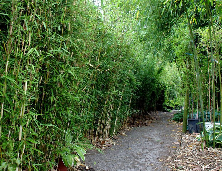 fargesia robusta 39 campbell 39 bambu bamboo pinterest. Black Bedroom Furniture Sets. Home Design Ideas