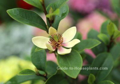 Banana Shrub is a beautifully fragrant flowering plant. Find out how to grow this Magnolia relative in a container, how to water, when to repot, fertilize and more.