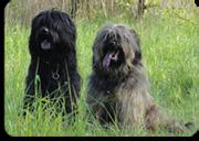 Gos datura pups Rico Perro del Mosa & Lela