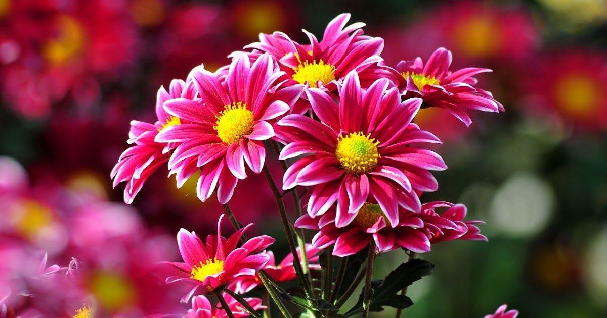 Paling Bagus 29 Gambar Bunga Krisan Download Bloemen Wallpapers Budidaya Bunga Bunga Krisan Hd Wallpaper Kuning Mekar Menanam Bun Di 2020 Bunga Menanam Bunga Gambar